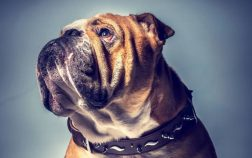 Who Is The Biggest English Bulldog In The World And How Much Does He Weigh