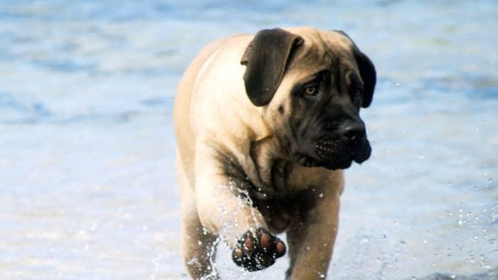 bull dog mastiff puppy mix