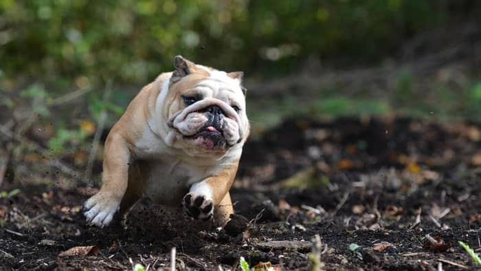 puggle bulldog mix