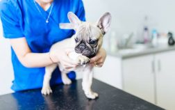 Common French Bulldog Medical Issues And What To Do About Them