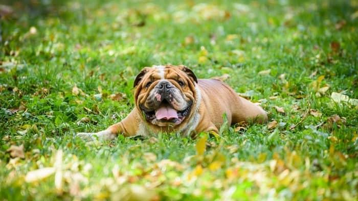 Happy english bulldog