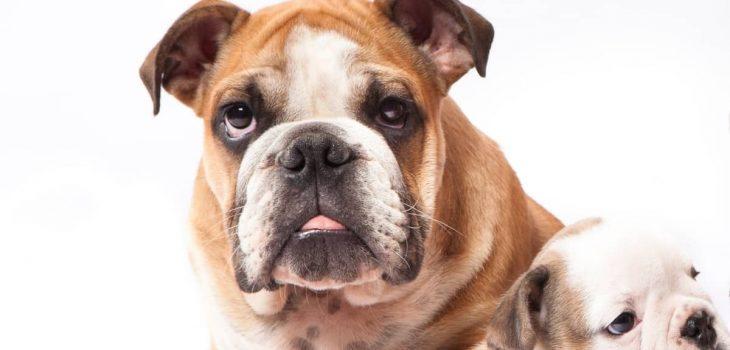 How Big Do Miniature English Bulldogs Get