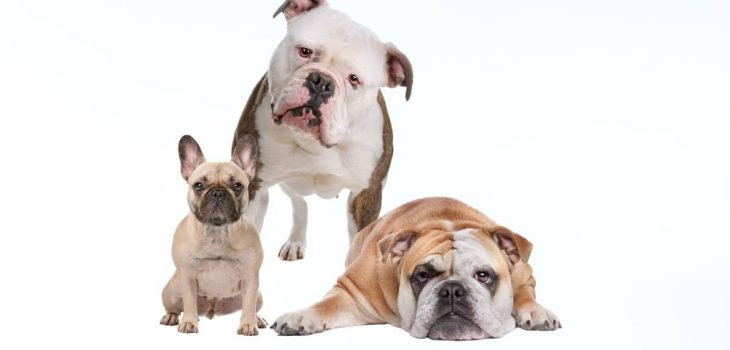 Life Expectancy Of Bulldogs Compared