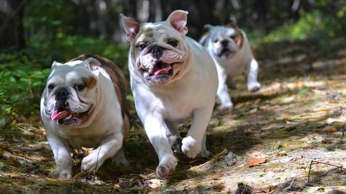 What Is The Life Expectancy Of An English Bulldog