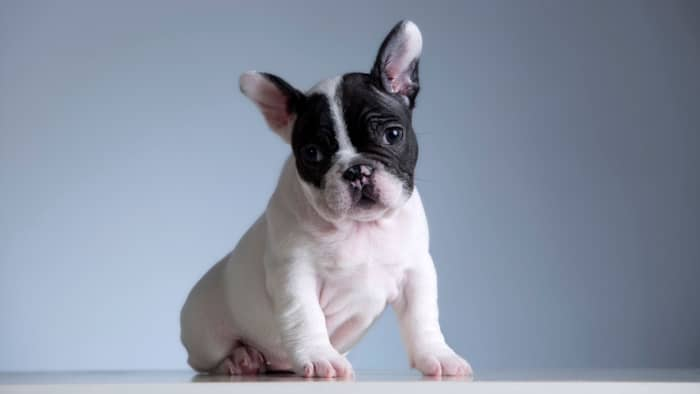 cost of french bulldog puppy