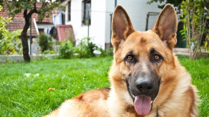 german shepard guard dog