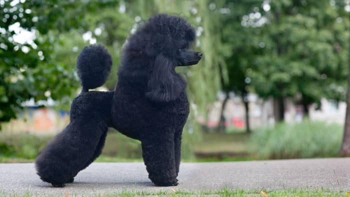 medium size poodle