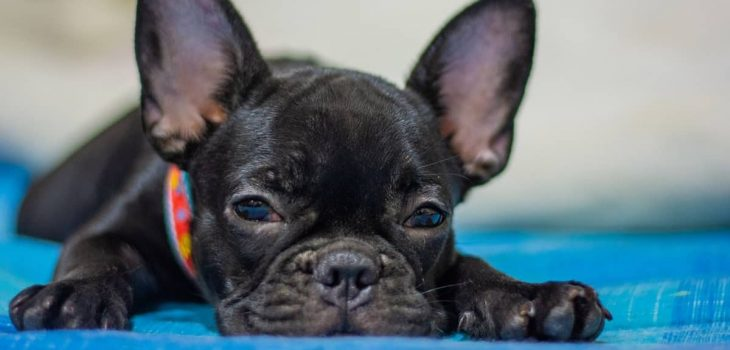 How Big Do Teacup French Bulldogs Get